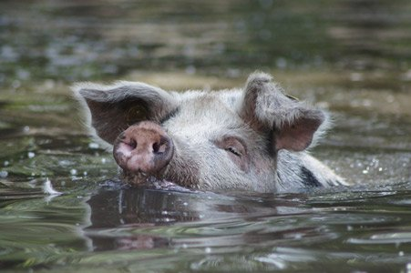 Schwimmendes Schwein